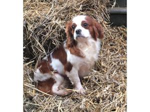 Blenheim female cavalier looking for a pet home in