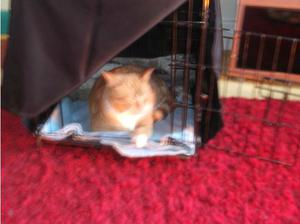 1 year old ginger and white cat in Barnet