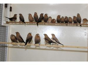 Silverbill Finches For Sale in Leicester