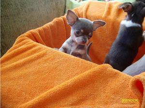 Chihuahua puppies smooth coat in Bargoed