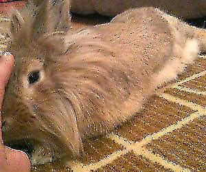 (HUDDERSFIELD) browny/ gingerish friendly bunny for sale