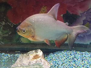 3 red belly piranha posot class for Pacu fish for sale