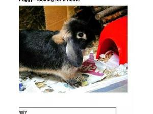 WANTED - Male Dwarf Rabbit for recently bereaved female