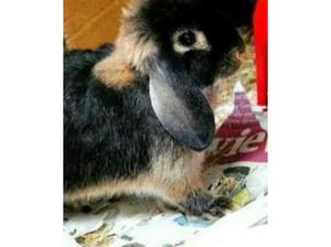 WANTED: - dwarf Male Rabbit for recently bereaved female