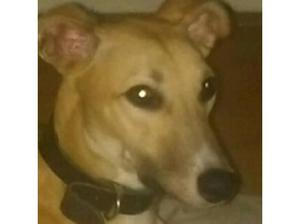 male lurcher looking for a new home in Seaham