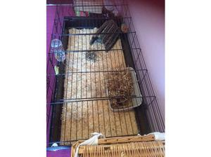 2 baby male guinea pigs in Bracknell