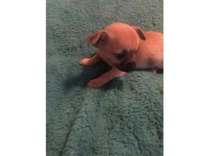 Chihuahua puppies in Huntingdon