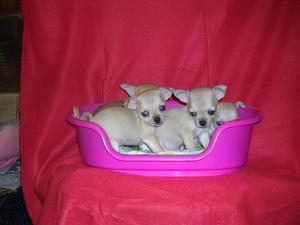 Pedigree Teacup Chihuahua puppies