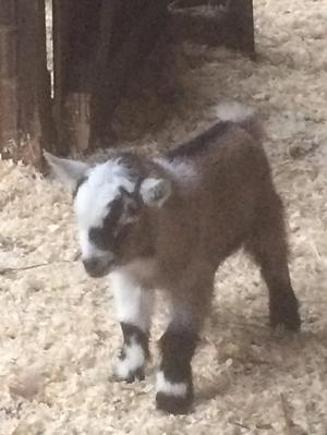 Pygmy Goat Wether Kid Reserve Now
