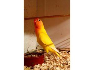 Young Yellow Ficher Lovebird in Honiton