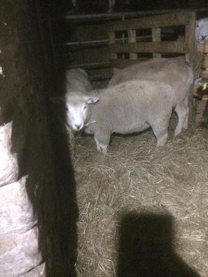 Store lambs