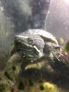 2 Musk Terrapins/Turtles
