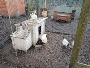 Small Chickens for sale