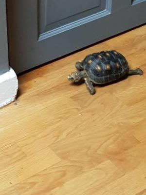 Two red foot tortoises for sale both 2 year old one male one