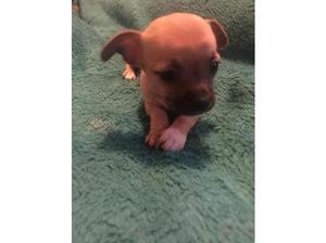 Chihuahua puppies. in Huntingdon