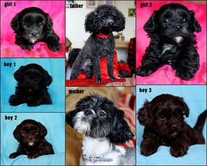 Shih tzu cross toy poodle puppies