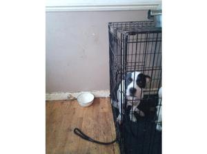 Six month old male pup for sale in Clacton On Sea