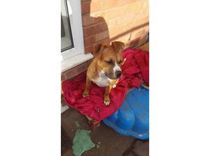Staffordshire terrier in Leeds
