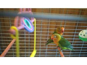 Stunning pair of Fisher lovebirds with cage for sale £110