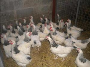 Sussex pullets, in York