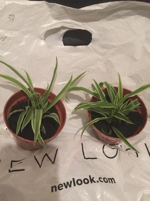 Spider plants potted