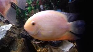 Gold sevrum, hi this fish is in great condition, it is about 7inches, a bit to big for my tank.