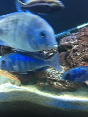 Dolphin Malawi cichlids for sale male and female xl