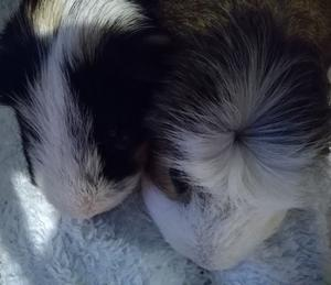 Lovely guinea pigs for sale, free to a good home.