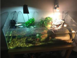 Free To A Good Home !! x 2 Yellow Bellied Sliders x1 Musk