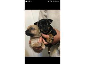 Chihuahua puppies in Biggar