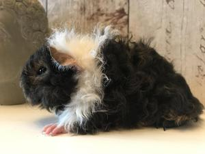 4 pedigree lunkarya guinea pig boars ready now