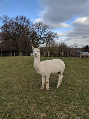 Unregistered Male Alpaca For Sale