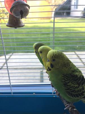 3 Talking Tame Budgies and Cage
