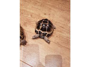 Horsefield tortoises. Breeding pair in Winchester