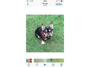 KC REG Black and Tan boy frenchy in Southwark