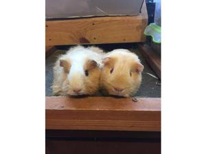 Texel and Self Saffron pair of baby Guinea Pig sows in