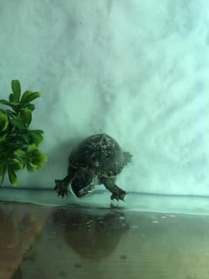 4 Common Musk Turtles with complete set up