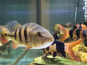 Peacock bass ocellaris