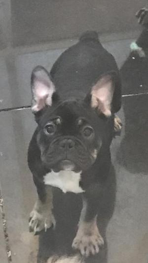 Lovely Black an Tan french bulldog girl triple carrier