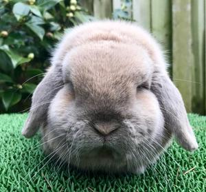 Beautiful Mini lop Rabbit for sale