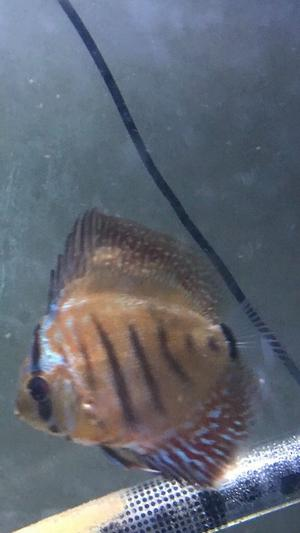 Discus fish free to good home