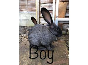 Giant continental x giant French Lop in Southend On Sea