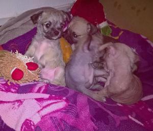 Beautiful chinese crested x Chihuahua
