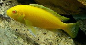 Red Eyed Yellow Lab African Malawi Cichlid Tropical Fish x2