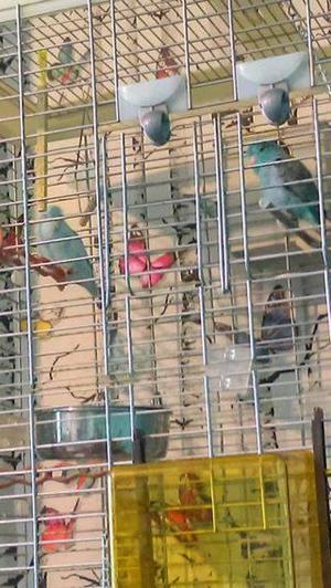 south american parakeets (breeding pair)