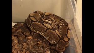 Female spider ball python