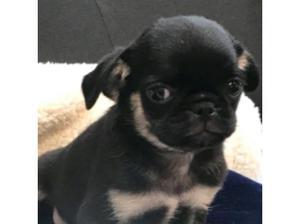 black and tan girl pug in Lewisham