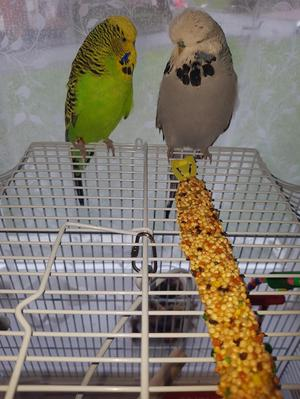Two beautiful baby boy budgies for sale with cages