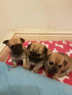 Chihuahua cross puppies
