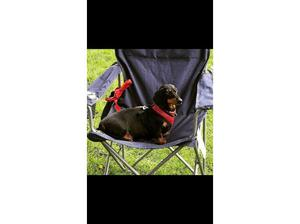 KC Registered Miniature dachshund Black and Tan 3yo in